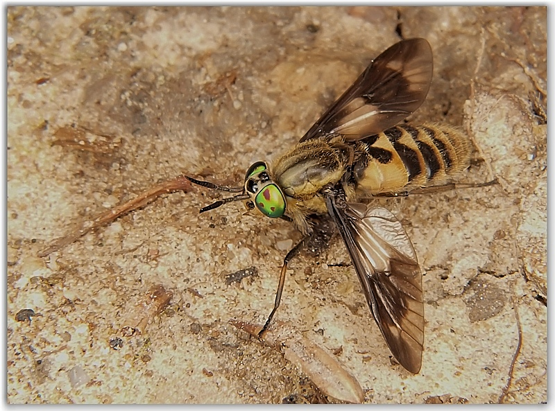 Wounded Horse-flies